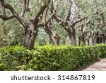 Ancient Olive Trees On The...