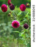 Small photo of Blooming claret dahlias