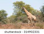 giraffe  giraffa camelopardalis ... | Shutterstock . vector #314902331