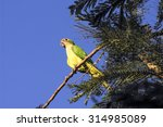 Small photo of Green parrot Chaua - Amazona rhodocorytha in nature