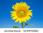 Sunflower And Blue Sky...