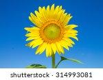 Sunflower And Blue Sky...