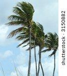 Palms Blowing In A Stiff Wind...