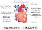 anatomy of human heart | Shutterstock .eps vector #315182591