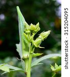Small photo of Abelmoschus esculentus /Okra / Lady's Finger / Healthy Food