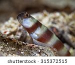 Small photo of Magnus`partner goby, Magnus-Partnergrundel (Amblyeleotris sungami)