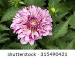 bright purple dahlia's flower ...   Shutterstock . vector #315490421