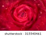Stock photo red rose bud with a shiny transparent fabric draped around it 315540461