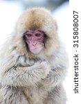 japnanese snow monkey shooting...   Shutterstock . vector #315808007