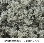 Small photo of White moss, white reindeer moss photo, star-tipped Reindeer Lichen (Cladina stellaris)