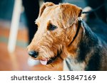 Beautiful Brown Airedale...
