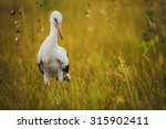 small stork walking on green... | Shutterstock . vector #315902411