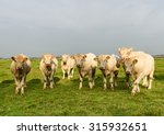 a herd of young pedigree... | Shutterstock . vector #315932651