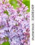 Beautiful Lilac Flowers. Natur...