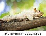 Albino Squirrel On A Tree...