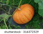 Pumpkin 'rouge Vif D'etampes' ...