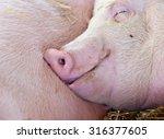 Close Up Of Carefree Pig...
