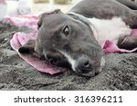 puppy with a sandy nose lies on ... | Shutterstock . vector #316396211