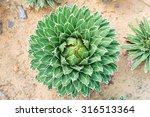Queen Victoria's Agave Plant ...