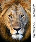 Lions Masai Mara National Park...