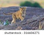 lions masai mara national park... | Shutterstock . vector #316606271