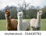 Group Of 3 Alpaca\'s