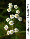 Small photo of Achillea ptarmica