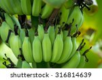 Unripe Bananas In The Jungle...