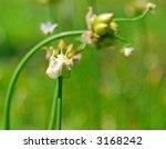 wild onion pods