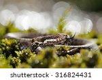 european adder  vipera berus ... | Shutterstock . vector #316824431