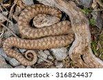 european adder  vipera berus ... | Shutterstock . vector #316824437