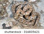 Small photo of Wild leopard snake (Zamenis situla) pattern