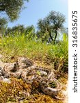 Small photo of Wild leopard snake (Zamenis situla) in its natural habitat in Apulia, Italy