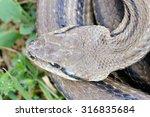 four lined snake  elaphe... | Shutterstock . vector #316835684