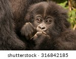 A Baby Gorilla In The Forest O...