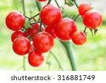 fresh tomatoes plant | Shutterstock . vector #316881749