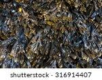Bladderwrack Seaweed Backgroun...
