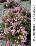 Ground Cover Roses In Small...
