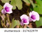 Purple Flower Sweet Potato....