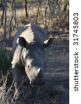 white rhino baby   Shutterstock . vector #31745803