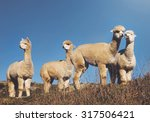 Постер, плакат: Herd Lamas Wilderness Alpaca