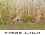 grey partridge among the wheat... | Shutterstock . vector #317513195
