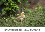 baby chicken in the green garden | Shutterstock . vector #317609645