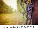 Bunch Of Grapes In The Vineyards