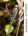 Small photo of A male of Autumn Hawker (Aeshna mixta)