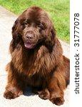 beautiful brown newfoundland dog - stock photo