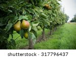 Ripe Pears Ready For Harvest I...