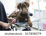 Stock photo beautiful doberman puppy lying on a veterinary table and gets an infusion vet holding infusion 317858579
