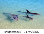 Dolphins In Monkey Mia  Wester...