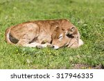 Small Cute Calf Sleeping On Th...